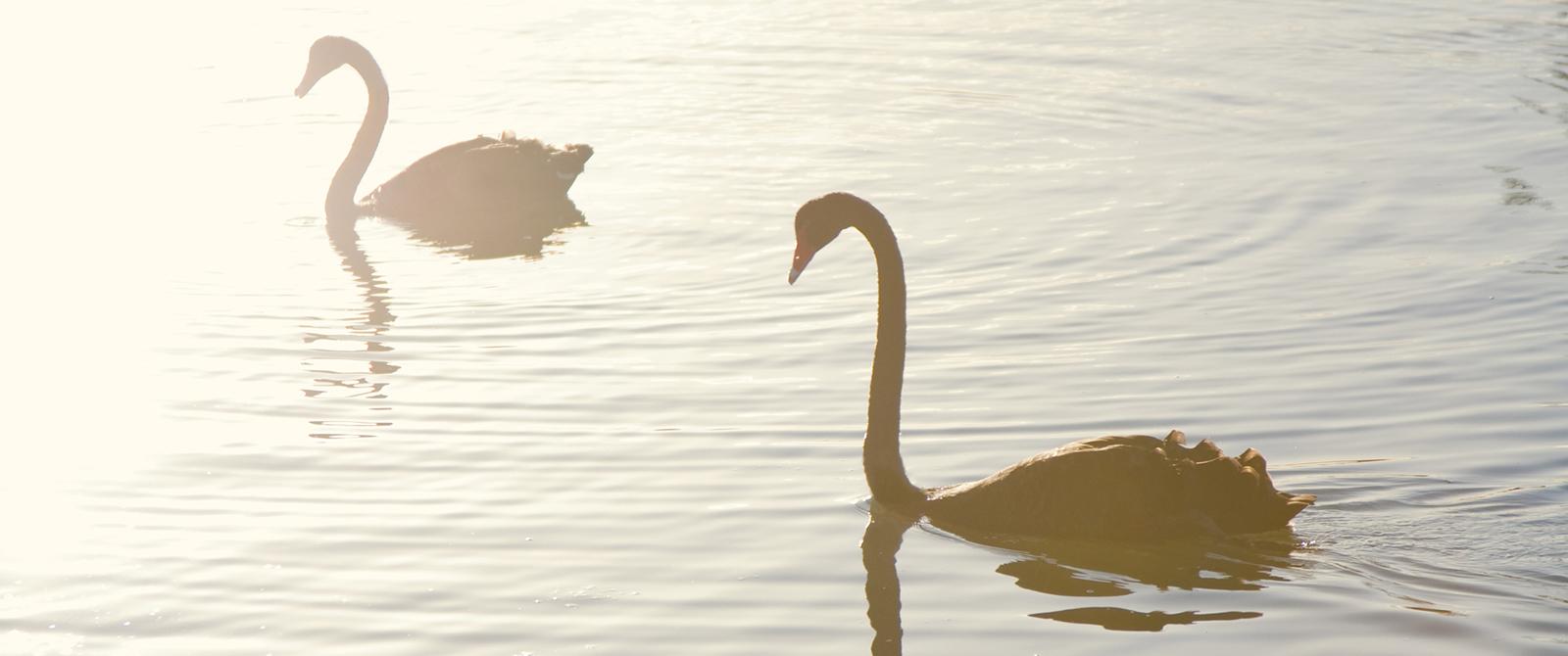 Two black swans on a lake